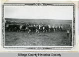 Yearling steers, Fairfield, N.D.