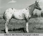 Spotted horse, Williston, N.D.