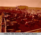 Farmer's Union Livestock Association sales ring, Williston, N.D.