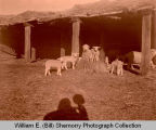 Lambs and sheep, Williston, N.D.