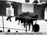 Cattle auction, North Dakota
