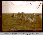 Men harvesting grain shocks, automobiles in background, Northwest Williston, N.D.