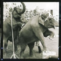 Elephants in Shrine Circus, N.D.