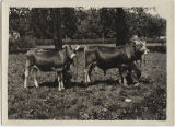 Gessner Dairy Swiss brown cows