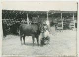 One of the milking shorthorn heifers exhibited by Elmer Scheer, Wells County Fair, Fessenden, N.D.