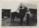 Percheron stallion exhibited by W. E. Jakle and Son, Bowdon N.D., Wells County Fair, Fessenden, N.D.