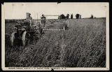 Harvesting durum wheat on I.P. Baker Farm, Bismarck, N.D.