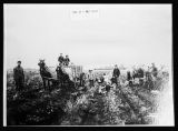 Potato harvest on Christ Hanson farm, Barnes County, N.D.