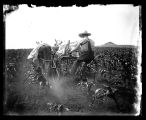 Noyes Whitcomb cultivating corn with Bird and Maude, Flasher, N.D.