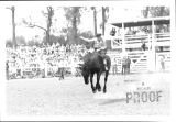 Rodeo clown on bucking bronc