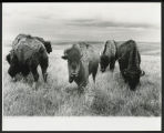 Bison grazing in long grass