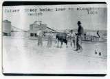 Relief steer being led to slaughter, Sanish, N.D.