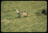 Sharp tailed grouse dancing, Upper Souris National Wildlife Refuge, N.D.