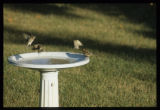 Pine siskins and sparrows at birdbath
