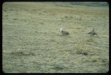 Sharp tailed grouse dancing, Upper Souris National Wildlife Reserve, N.D.
