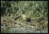 American bittern, Mouse River Park, Mohall, N.D.