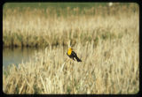 Yellow-headed blackbird southeast of Mohall, N.D.