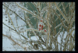 Ice coated tree and berries, Southam Farm, Mohall, N.D.