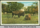 Buffaloes in Riverside Park, Minot, N.D.