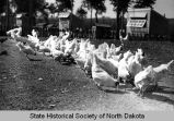 Poultry yard at North Dakota State Penitentiary, Bismarck, N.D.