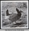 Prairie chicken