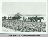 Severt Tolo plowing fields at Nels Fosen's farm north of Leeds, N.D.