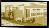 Man with hogs in front of barn