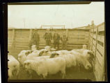 Sheep and boys in corral