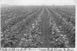 Potato field in full bloom near Park River, N.D.