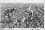 Picking potatoes near Park River, N.D.