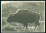 Buffalo in the wild in Theodore Roosevelt National Park, N.D.