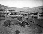 Two cowboys restraining horse on ground, Medora, Dakota Territory