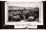 Shipping cattle from Fullerton, N.D.