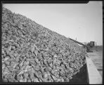 Pile of sugar beets, American Crystal Sugar, Moorhead, Minn.