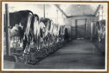 Dairy cows standing in their stalls inside barn, Emmons County, N.D.