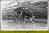 Starving cow, standing in a corral, Hettinger, N.D.