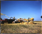 Threshing machine in operation, Henry Langer farm near Casselton, N.D.