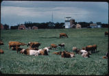 Shorthorn cattle in pasture on Grims Goodman farm, Milton, N.D.