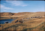 Hereford cattle in pasture, Hebron, N.D.