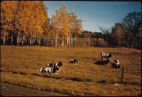 Holstein cattle in pasture
