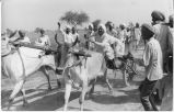 Annual bullock-cart race during harvest, Punjab Plain