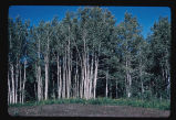 Aspen trees, Turtle Mountains, N.D.