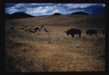 Herd of bison on grasslands