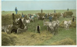 Threshing scene on the Bernard Middendorf farm, Park River, North Dakota : threshing engine pulled by